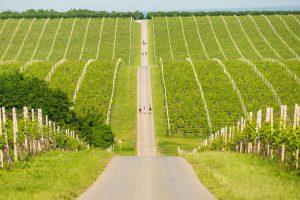 Baranjski vinogradi_Nenad Milić